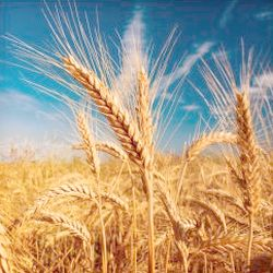 Why wheat is a problem with endometriosis